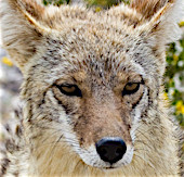 Close up of the face of a Coyote.