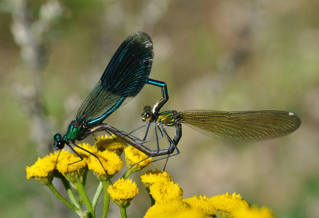 Banded demoiselle Damselflies, Calopteryx splendens, forming a heart-shape with their bodies while mating.