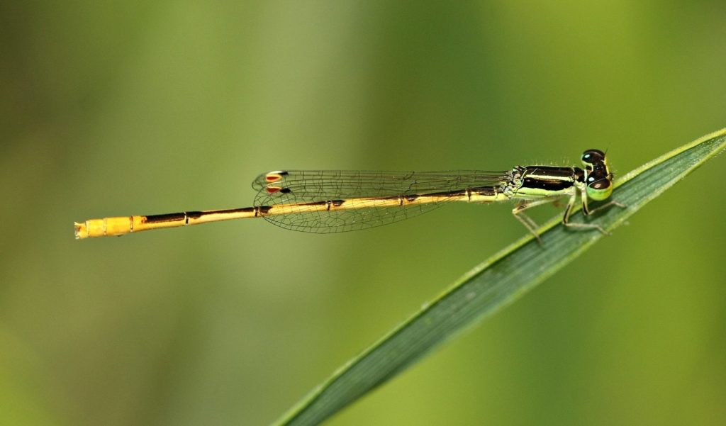 Unidentified damselfly standing on a frond.