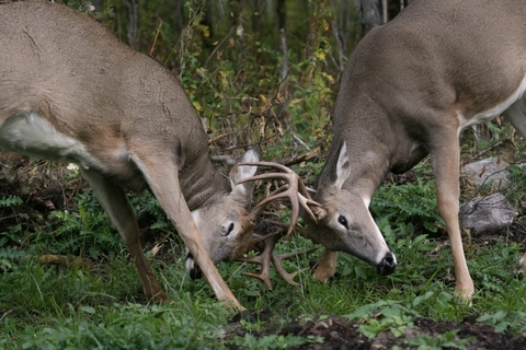Two male White-tailed Deer with their antlers touching as they spar.