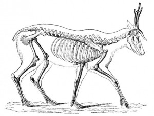 Deer skeleton (Jean-Georges Ferrié, Michel Coutureau and Cédric Beauval)