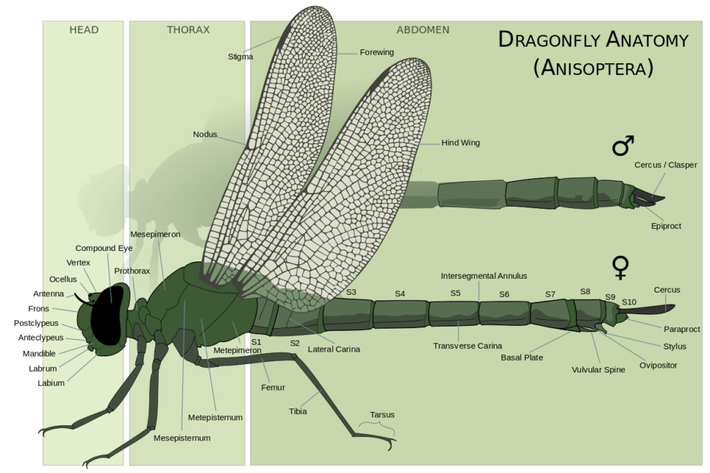 Illustration of male and female dragonfly anatomy with labels identifying parts of the body.