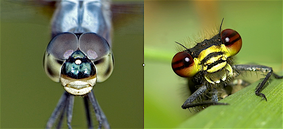 A dragonfly on the left, showing eyes touching and damselfly on the right with eyes not touching.