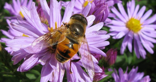Image of a Drone Fly, Eristalis tenax, which looks a lot like a honeybee and feeds on flowers.