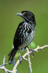 The last Dusky Seaside Sparrow (Ammodramus maritimus nigrescens). Called Orange Band, when he died on June 17, 1987 his species became extinct. (USFWS; CC)