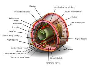 Earthworm body system