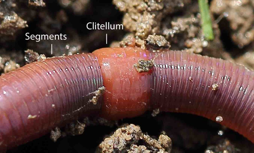 Close up of earthworm's clitellum and body segments.