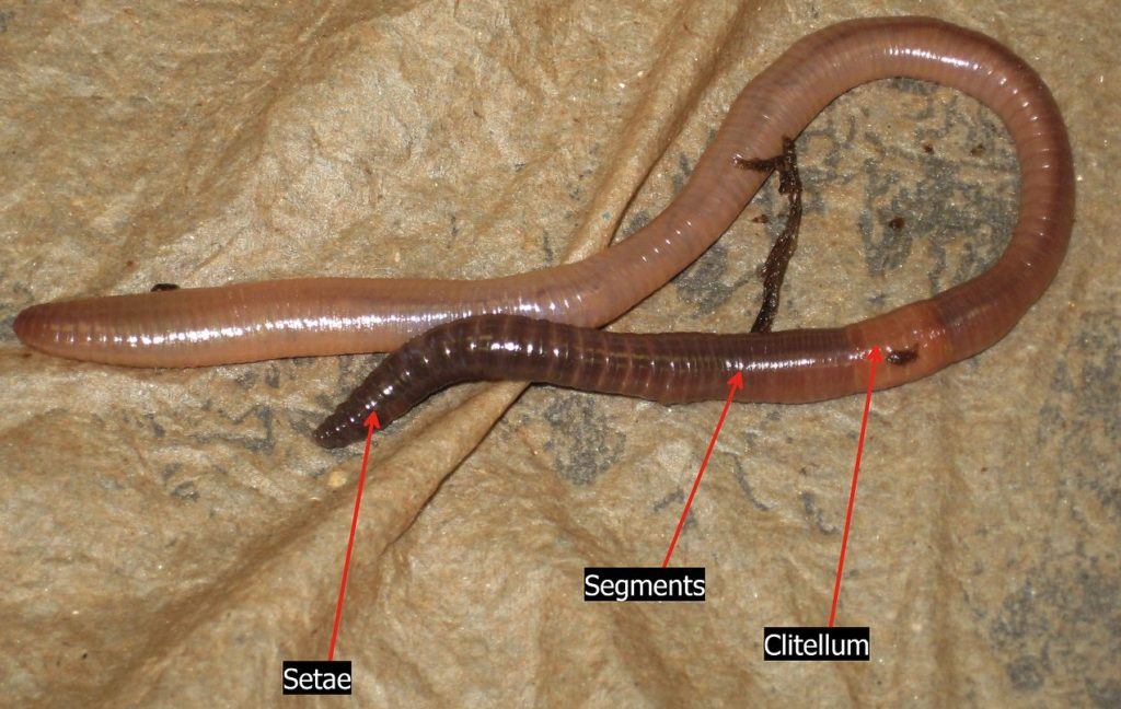 Image of an earthworm showing its setae, segments and clitellum