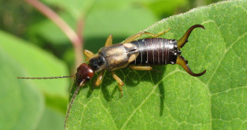 Earwig male, Forficula auricularia, on a green leaf.