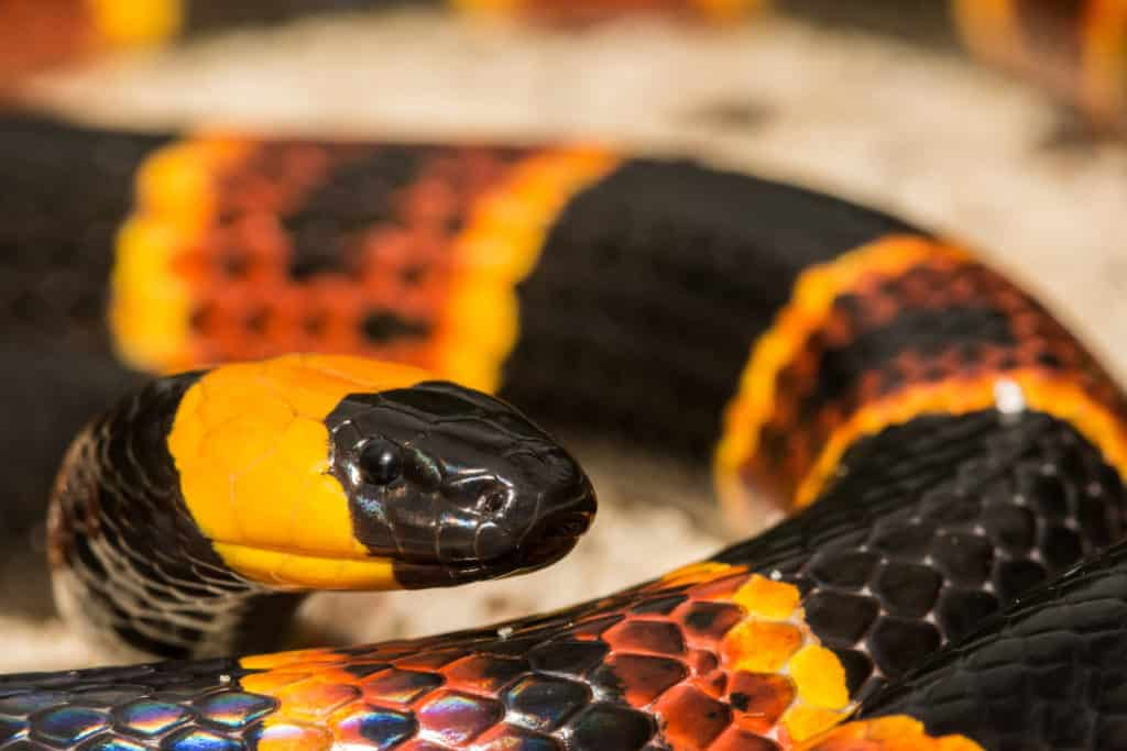 Close up of the head of an Eastern Coral Snake, showing its round pupils.