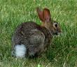 Eastern Cottontail-2