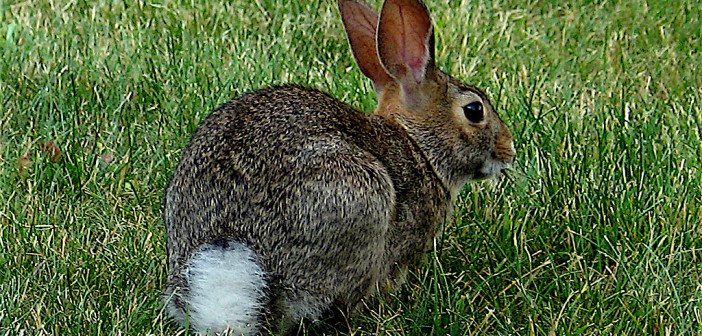 Cottontail rabbit sitting on green grass with it's back to the camera, which shows its white, cottony-looking tail.