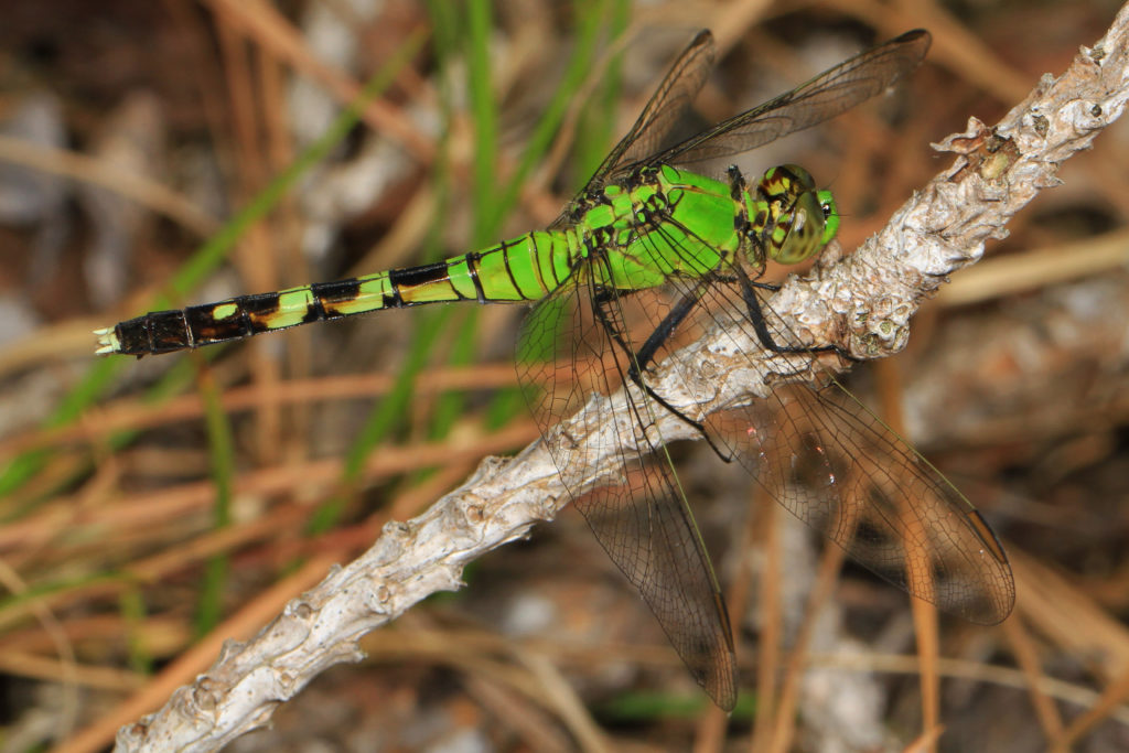Eastern Pondhawk, Erythemis simplicicollis, standing on a twig.