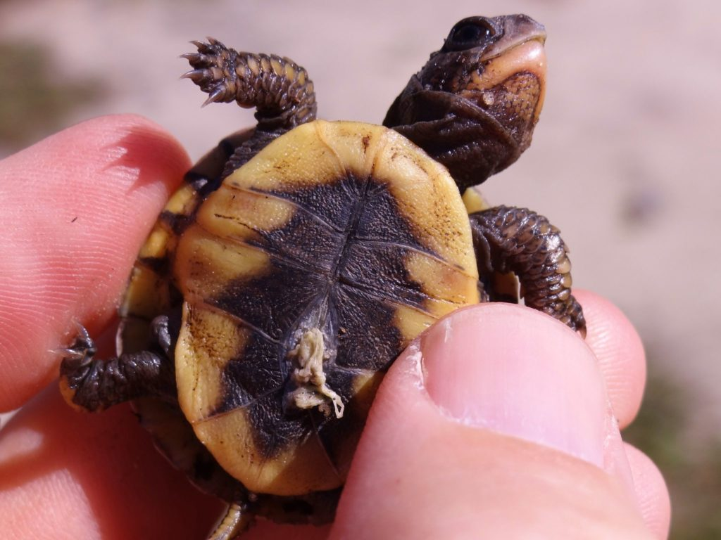 Eastern Box Turtle baby with cord and egg sac attached.