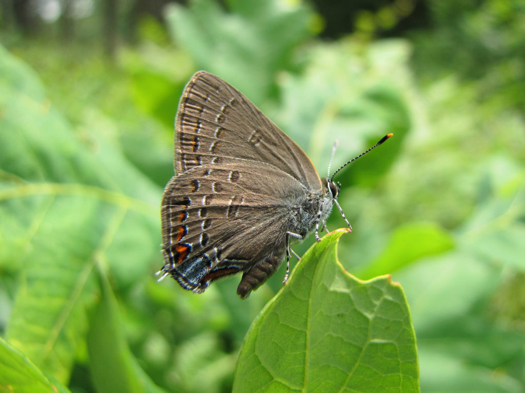 Edwards' Hairstreaks, Satyrium edwardsii