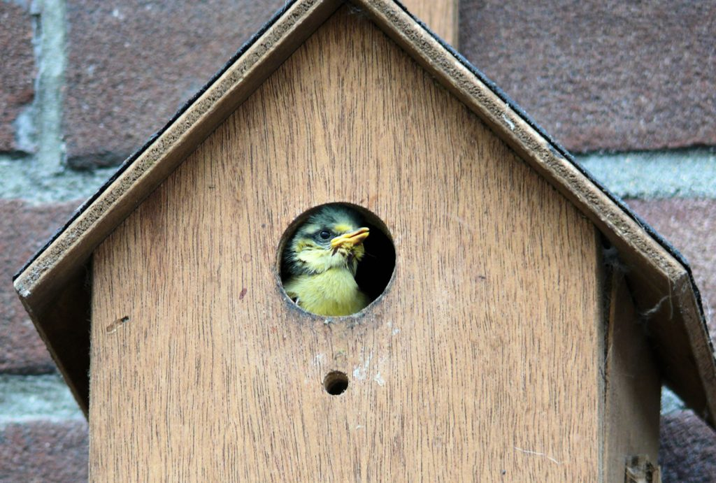 Eurasian Blue Tit nestling in a tan, wooden birdhouse mounted on a brick wall.