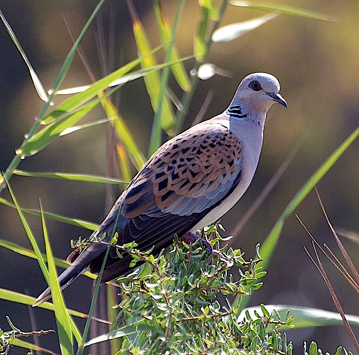 European Turtle Dove, Streptopelia turtur, one of the birds in the 12 days song.