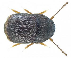 Featherwing Beetle 2