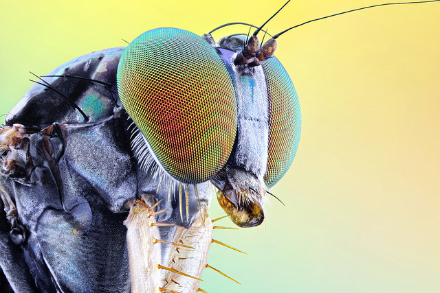 Close up of the compound eyes of a long-legged fly.