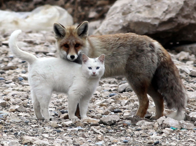 A Red Fox and a white cat that are friends; they are facing the camera with the cat standing just in front of the fox.