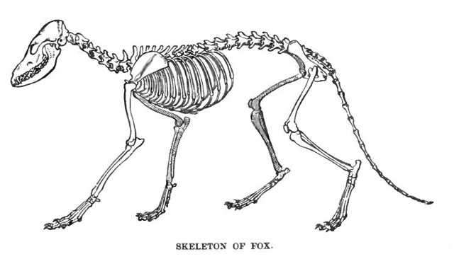 Black-and-white Illustration of a complete fox skeleton.