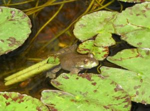 Frog in water with lily pads surrounding it.