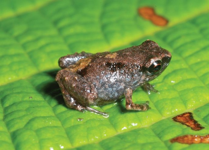 Smaller than an M&M, the world's smallest frog, Paedophryne dekot ... Monte Iberia Eleuth Frog