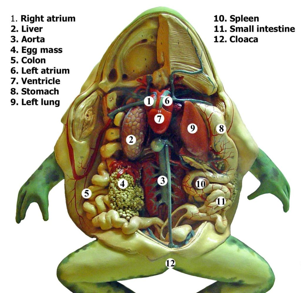 Color illustration of a frog's internal anatomy as seen from the belly side of the frog.