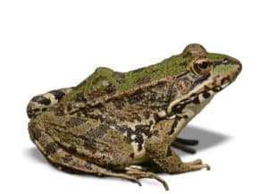 Side view of a frog facing to the right.