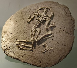 Frog fossil. (Keith Schengili-Roberts; CC BY 2.0)