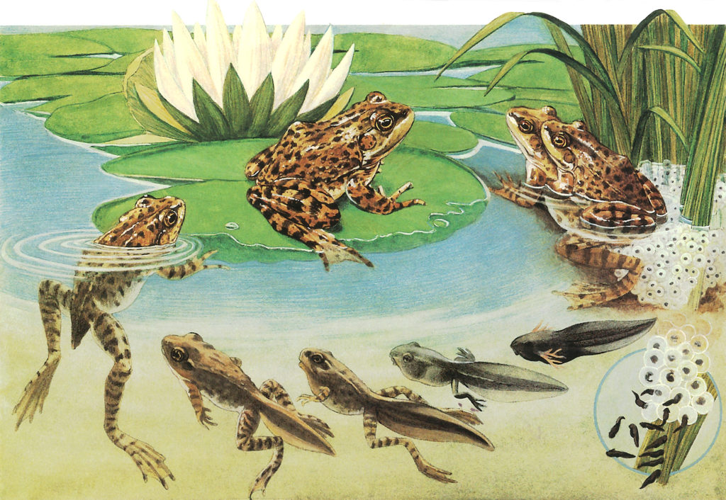 Colorful illustration of frog life cycle, from mating to adulthood.