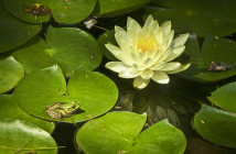 Small green frog sitting on a lilypad in water, with a pretty yellow flower nearby.