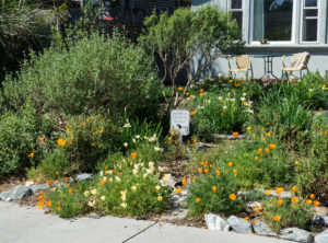 A front yard planted with native plants and part of a blue-painted house in the background.