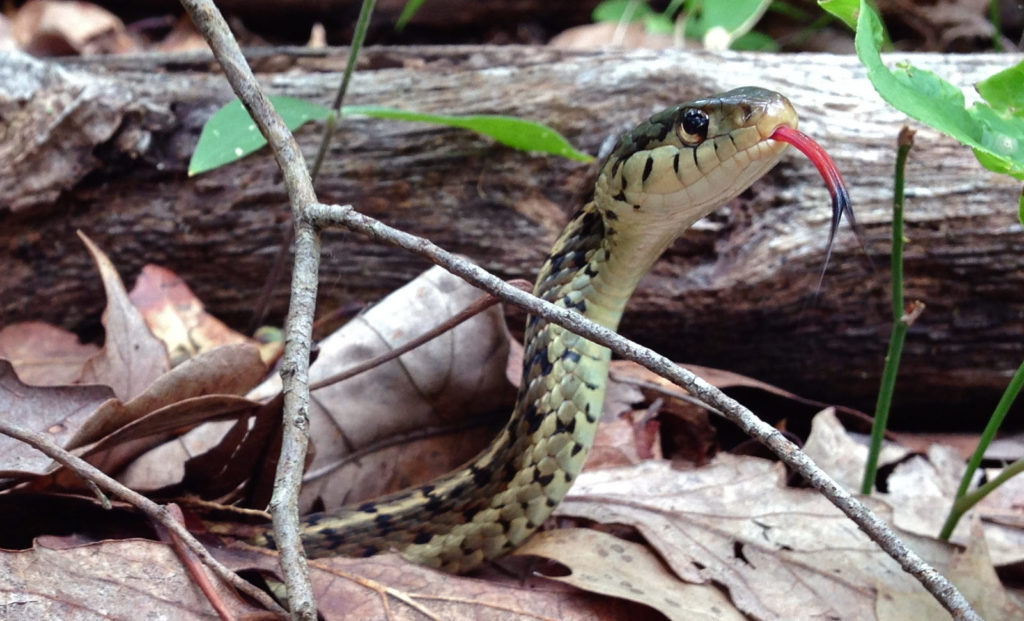 Garter snake with forked tongue sticking out.