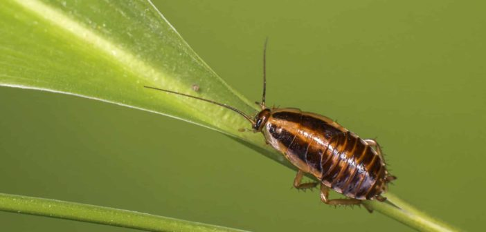 German cockroach sitting on green plant stem.