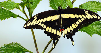 Giant Swallowtail butterfly, Papilio cresphontes Cramer, with its wings spread wide, clinging to a plant.