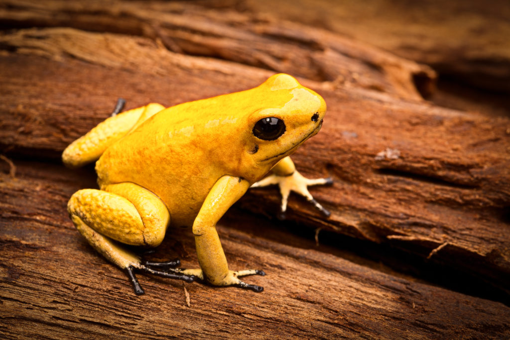 Golden Poison Frog, Phyllobates terribilis.