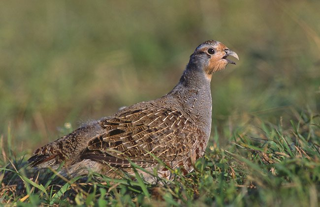Gray Partridge, perdix prefix, one of the birds in the 12 days song.