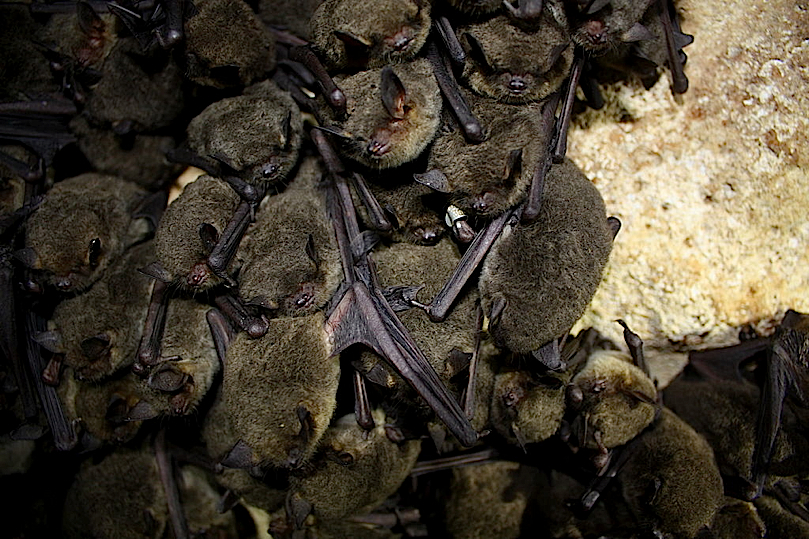 Small cluster of Gray Bats.