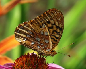 Great-spangled fritillary 2