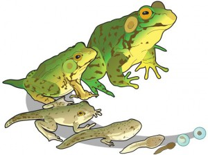 Green frog life cycle. (LadyofHats / Wiki; PD)