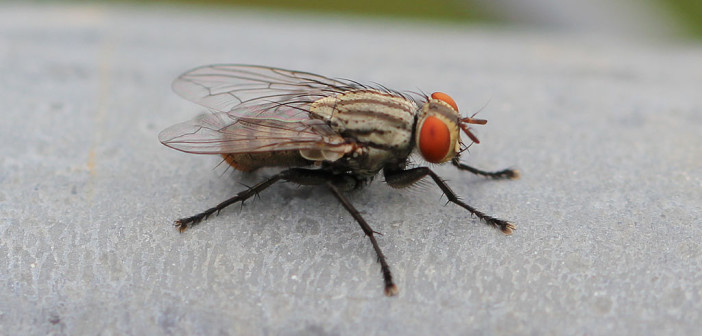 Close up image of a House Fly.