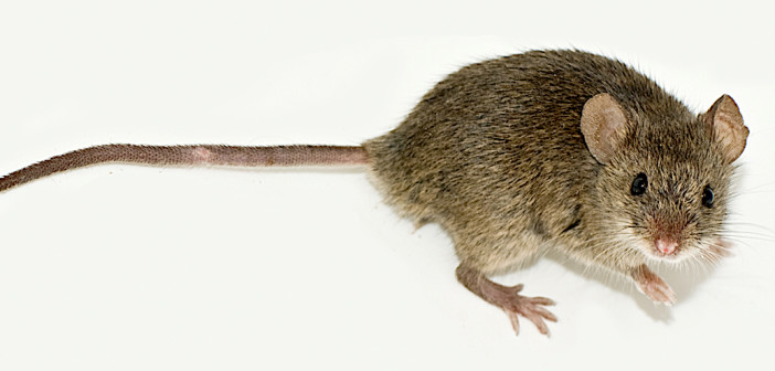 House mouse standing on what surface.