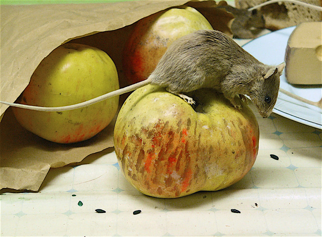 House Mouse standing on an apple, with a bag of apples and some cheese behind it.