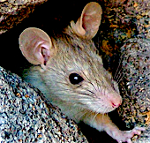 Close up of the face of a house mouse.