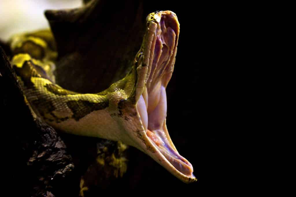 Indian Python with large mouth wide open as it yawns.