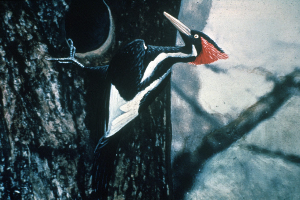 Ivory-billed Woodpecker photo taken in 1935 by Arthur A. Allen