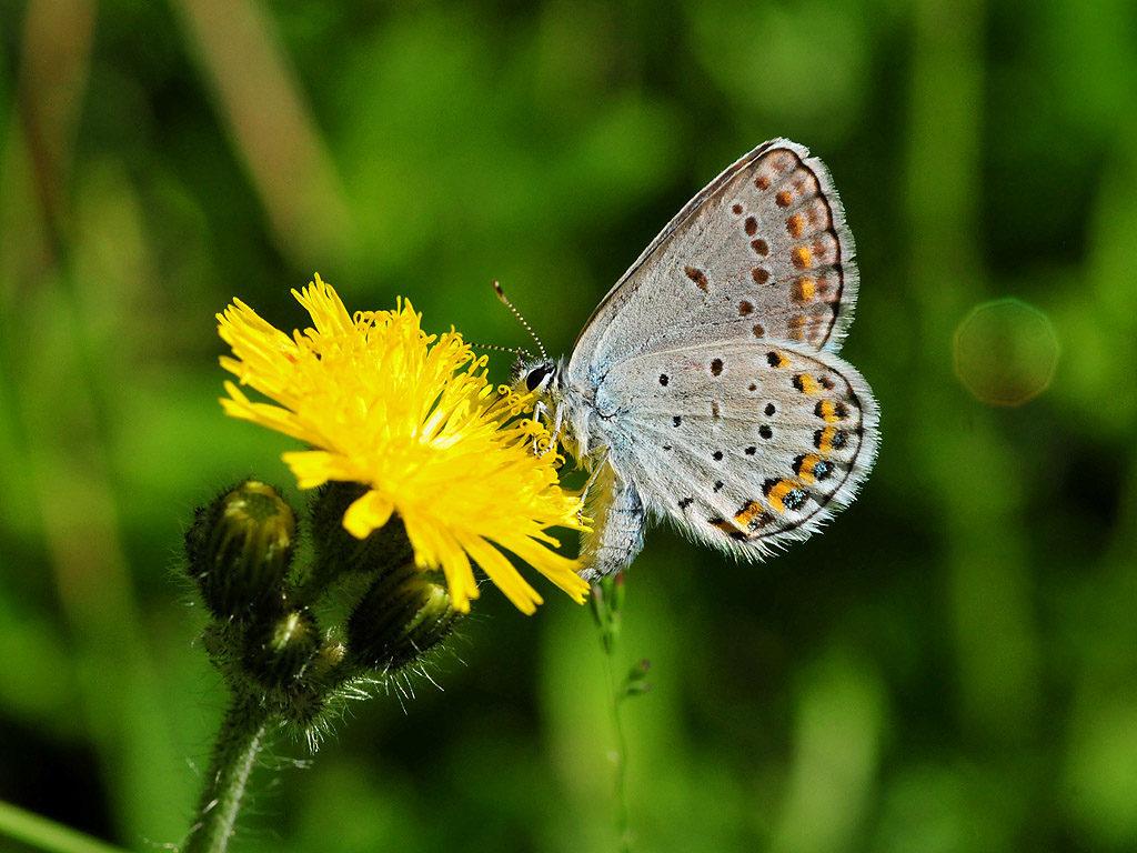 Karner Blue Butterfly, Lycaeides melissa samuelis