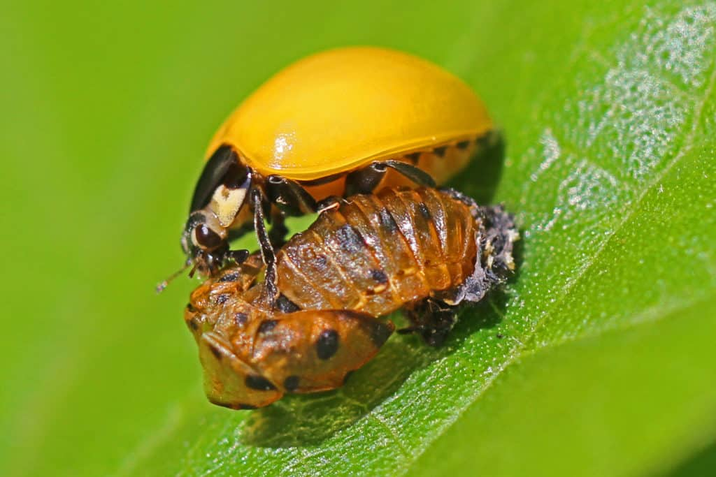 Multicolored Asian Lady Beetle, Harmonia axyridis, standing on its larval case.