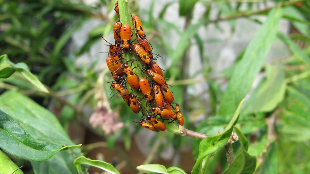 Group of bright orange Large Milkweed Bug nymphs, Oncopeltus fasciatus, on milkweed plant.